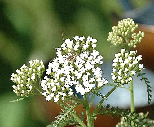 arachnidontheyarrowbloom